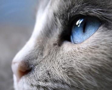29388-siam_cat_eye_12763
