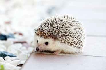 hedgehog-animal-baby-cute-50577.jpeg