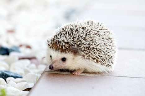 hedgehog-animal-baby-cute-50577.jpeg