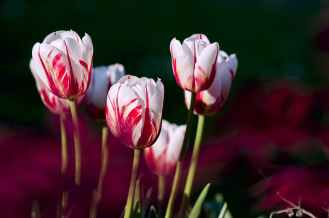 tulips-garden-flowers-color-69465.jpeg