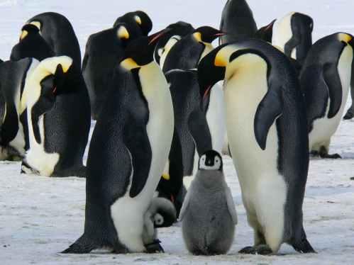 penguins-emperor-antarctic-life-52509.jpeg